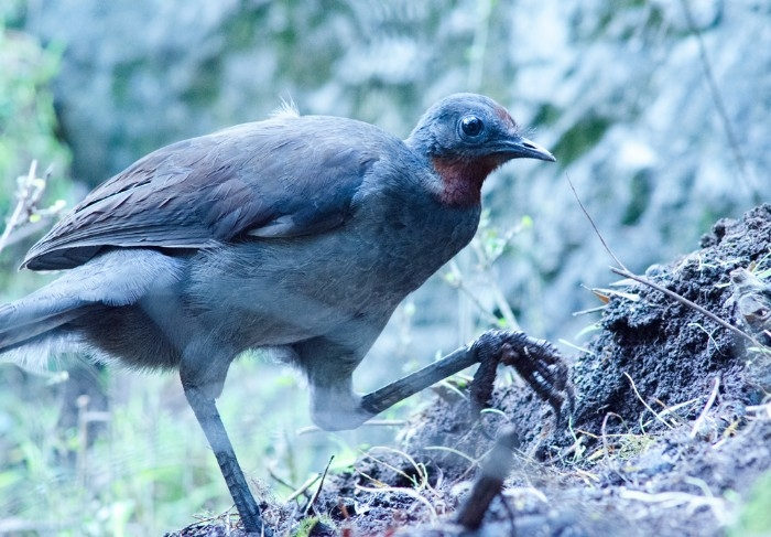 Young, male lyrebird - one of many that live at Jenolan Caves.