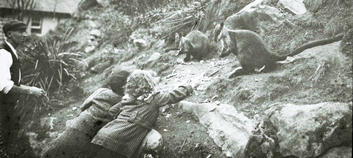 Feeding brush tailed rock wallabies in the old days