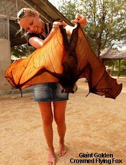 Largest type of bat in the world.