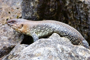Cunningham's Skinks are sometimes seen basking in the sun, at Jenolan Caves.
