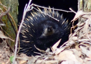 Echidna are often seen crossing roads on the way to Jenolan Caves.
