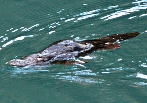 Blue Mountains wildlife.  Platypus are commonly glimpsed in Jenolan Caves' Blue Lake.