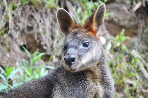 Swamp Wallabies have been spotted at Jenolan Caves, even in the visitor area.