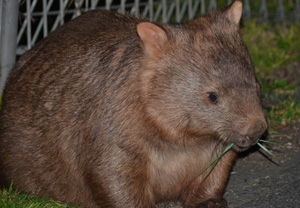 It is rare to see a wombat during the day.  But if you stay overnight, you might spot a wombat near Caves House.