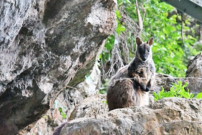 A Brush-tailed Rock-wallaby makes it into the census.